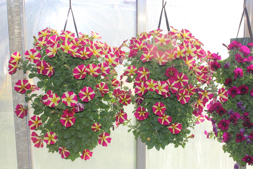 Blumen Regenold Bühl