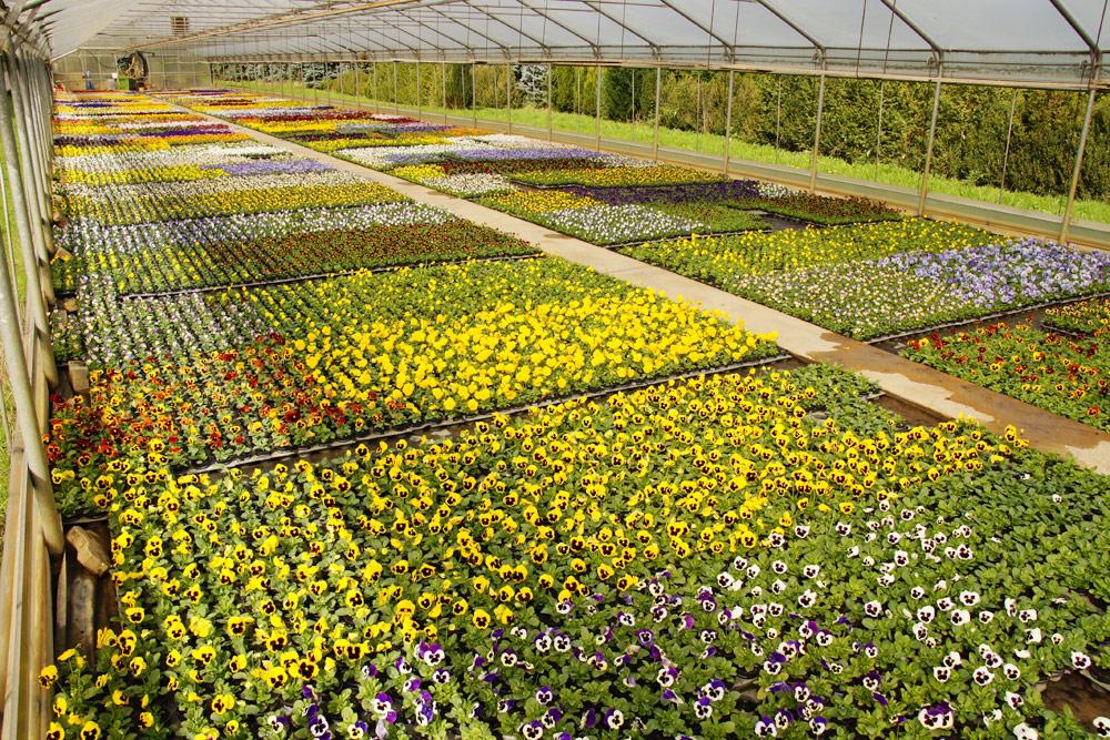 Beet Balkon Pflanzen 02 Blumen Regenold Buhl Floristik Gartnerei